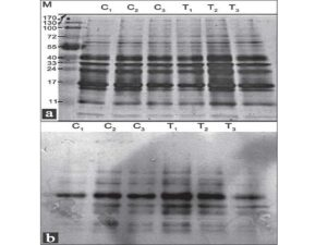 Pat tern of oxidatively damaged proteins of Schizosaccharomyces pombe pre-treated with Trolox and stressed with H2O2
