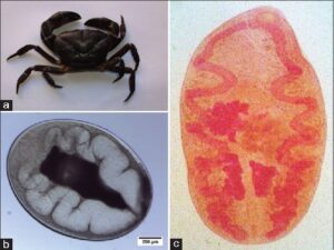(a) Freshwater crab host Maydelliathelphusa lugubris collected from Churachanpur district. (b) Paragonimus westermani metacercariae from crab host Maydelliathelphusa lugubris. (c) Borax carmine‑stained adult worm of Paragonimus westermani
