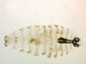 A spindle-shaped larvae of Oestrus ovis with a pair of sharply curved hooks